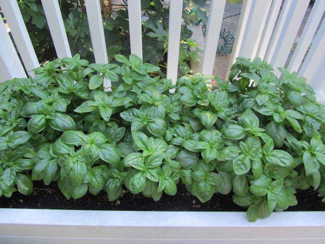 Growing Basil: How to Grow an Endless Supply of Basil on Autopilot