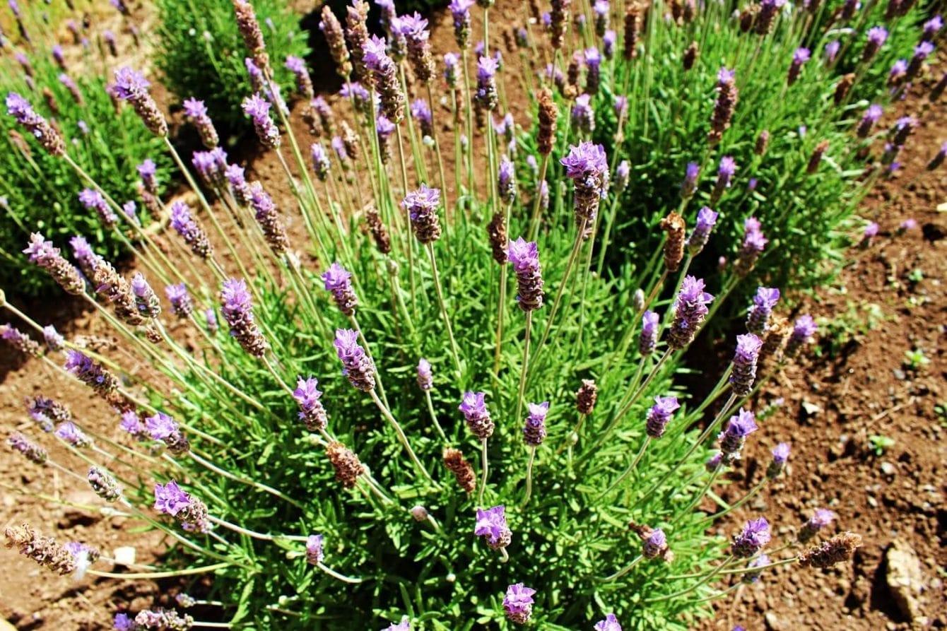 27+ Lavender Varieties Featured Image
