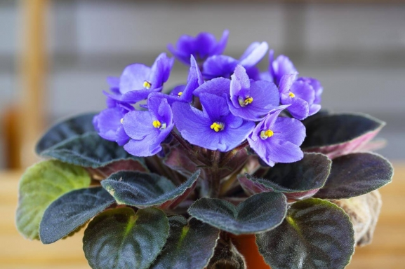African violet care featured