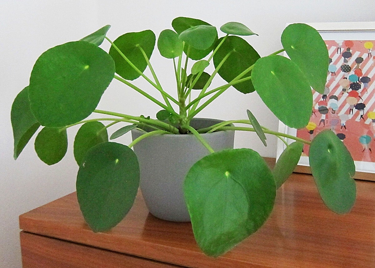 Chinese money plant featured