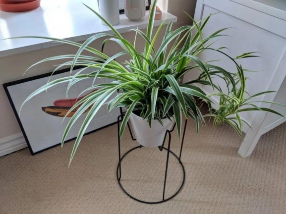 Spider plant featured
