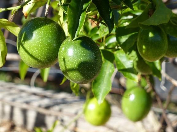 passion-fruit-green-vine