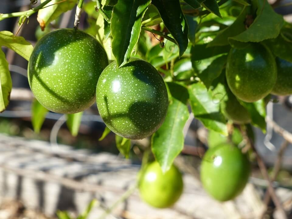 passion-fruit-green-vine