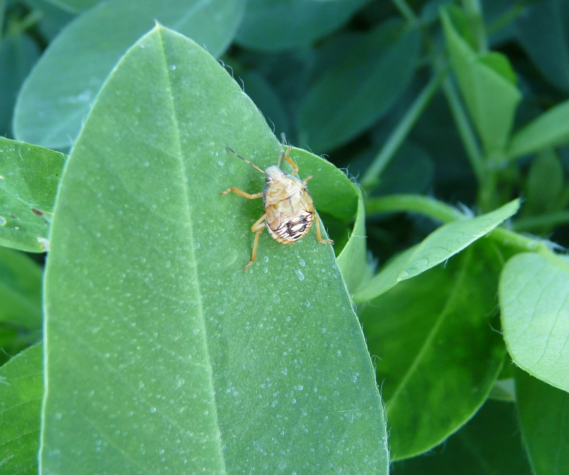 Soldier Bug Beneficial Insects or Bugs Featured