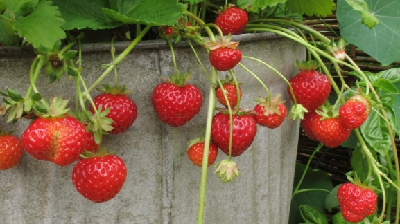 Growing Strawberries in Pots Featured