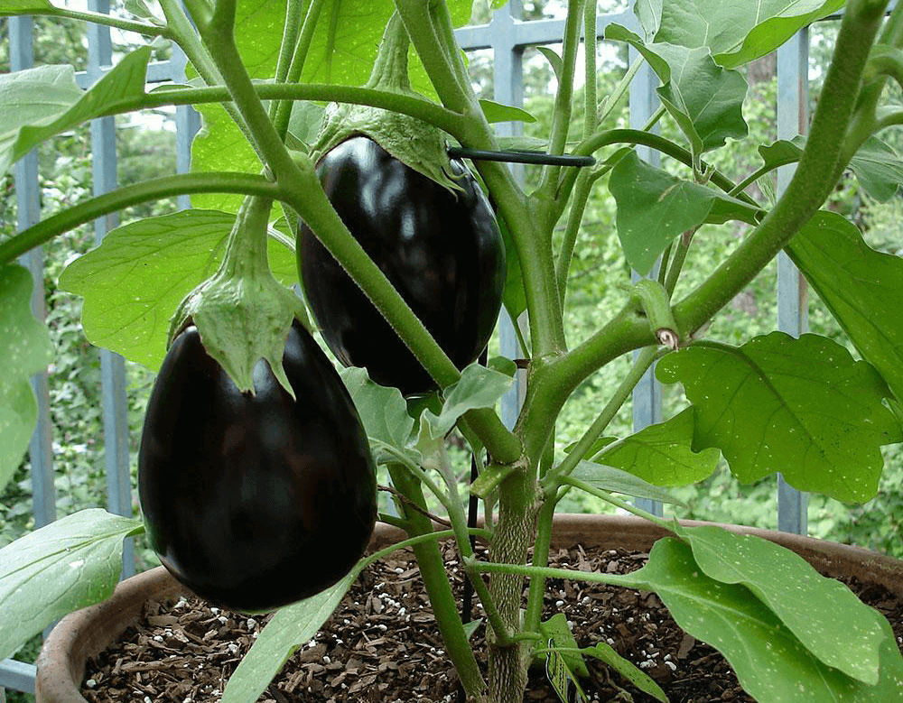 How to Get Rid of Flea Beetles on Eggplant Naturally