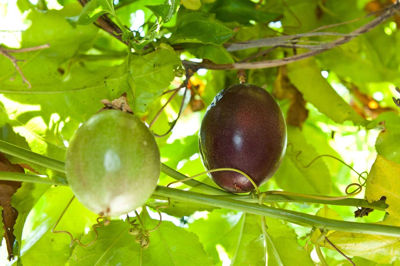 Passion Fruit Varieties Featured