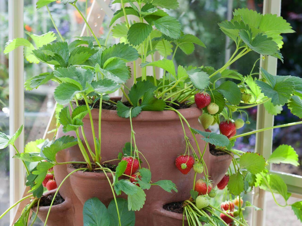 Growing strawberries featured