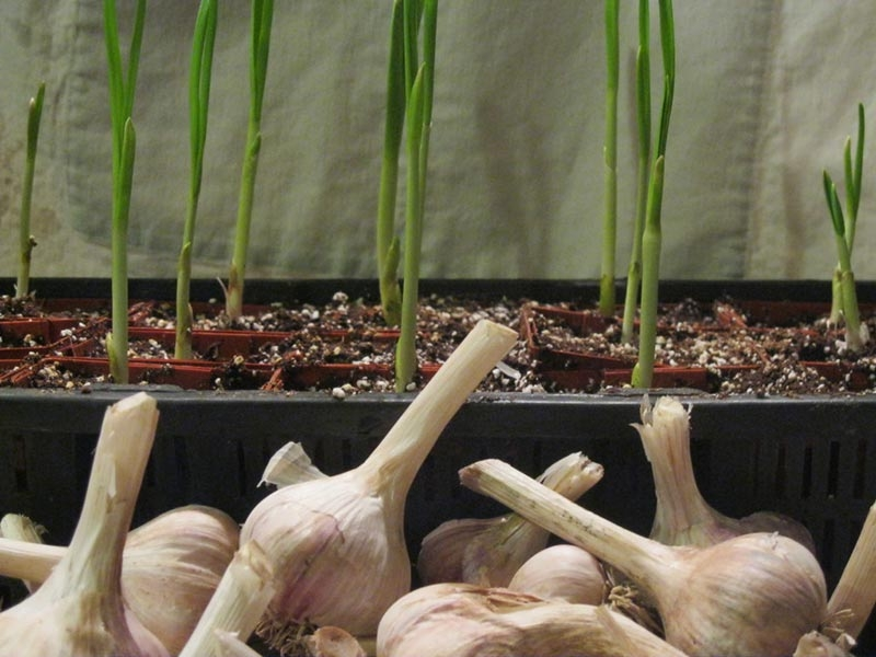 Growing-Garlic-Indoors featured2