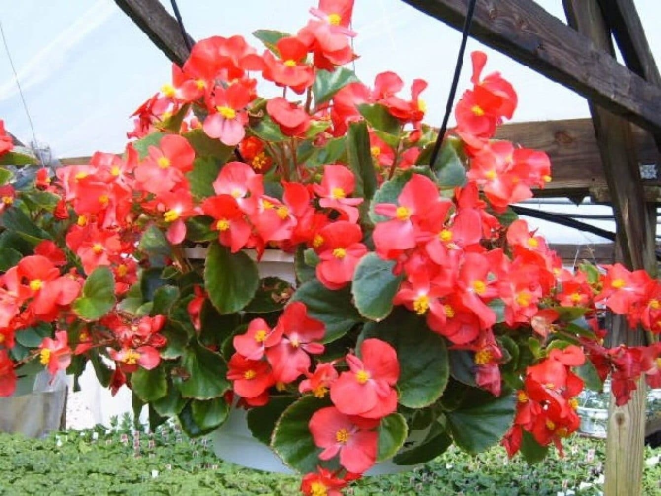 Wax Begonia Care Do Wax Begonias Like Sun Or Shade Hort Zone