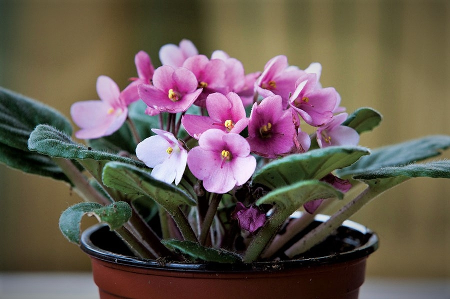 Is your African Violet Drooping Leaves